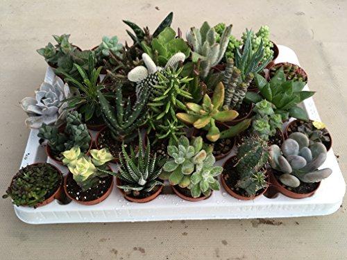 Piante grasse in vaso cm. 5,5 set da N. 30 piante. Tutte succulente (senza spine)