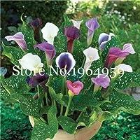 50pcsのカーラリリー、ルーム花根茎オランダカイウ属Aethiopica種子、種子Houseseeds DIYのホームガーデンPalnt:Q