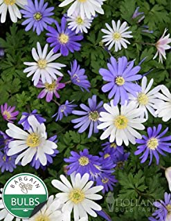 Grecian Windflower or Mixed Anemone