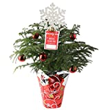 Costa Farms Live Christmas Tree, 18 to 20-Inches Tall, Decorated with Christmas Gift Wrap,...