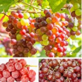 20pcs Grape Seeds Seeds Ruby Roman Grapes Bonsai Delicious Fruit Vegetables Organic Natural Children Delicious Nutrition Sweet Natural Snack Organic Seed Planting Garden Courtyard