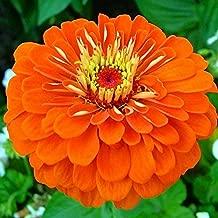 Zinnia Seeds - Orange King - Packet, Orange Flowers