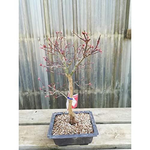 Bonsái Acer palmatum deshojo 12 años ARCE maceta de plást
