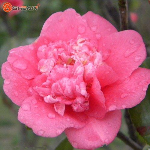 roi des graines de chrysanthème, pot graines de fleurs médaillon fleur, petit chrysanthème jaune, environ 20 particules