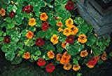 GEOPONICS Flower - Kings Seeds - Paquet Image - - Alaska Mixte - 40 semences
