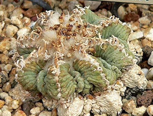 Asklepios-seeds® - 20 Samen Aztekium riterii, keimfähiges Saatgut
