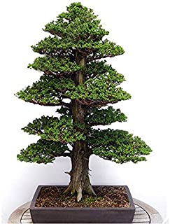 japanese cedar japanese garden trees