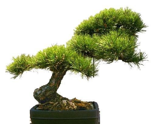 Tropica - Bonsai - Goldkiefer (Pinus ponderosa) - 20 Samen