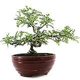Albero di pepe giapponese, Operculicarya decaryi, bonsai da interno, 12 anni, altezza 20 cm
