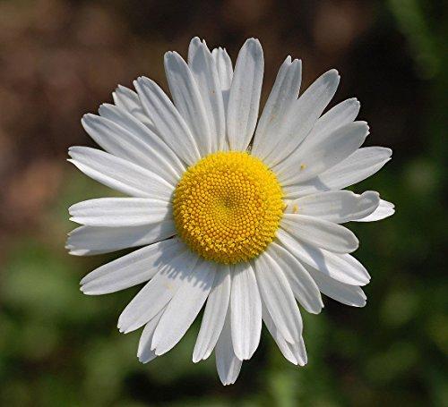 Leucanthemum vulgare | Ox-Eye Daisy | Marguerite | 100_Seeds