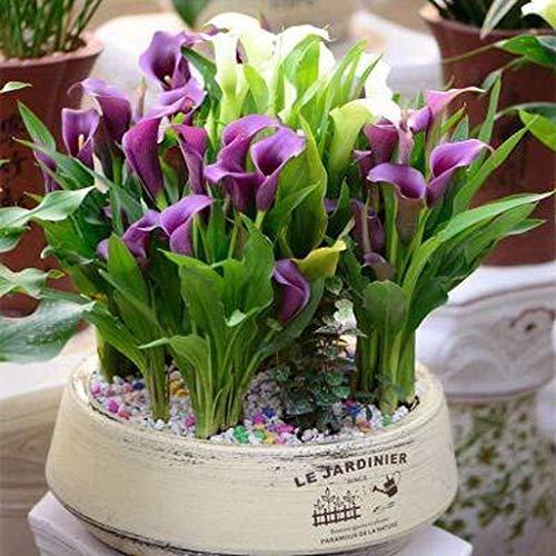 Eden-blumen 100 Pcs Calla Lilie Schwarz Seltene Mehrjährig Pflanzen Calla-Lilien Zwiebeln Blumensamen Für Garten Topfpflanzen (A)