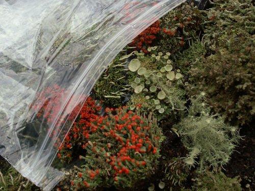 Appalachian Mix Moss & Lichen Variety Assortment British Soldier Pixie Cup Pityrea Live Lichens Moss 1 Pint Bag