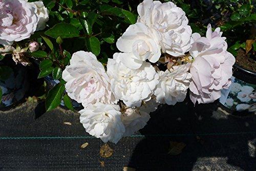 10x Bodendeckerrose Sea Foam reichblühende weisse Blütenpracht kräftige Bodendecker Rose Rosen (10)