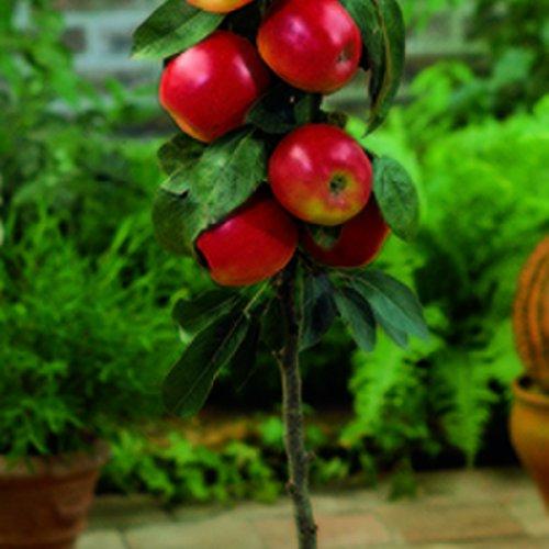 Blumen Senf Säulenobst Säulen-Apfelbaum Malus Gala