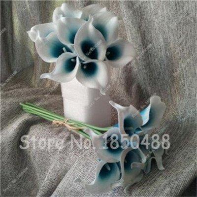 Multi-couleur Calla Fleur vrai Calla Lily Graines d'amour élégant Noble Symbolise Graines de fleurs de plantes d'intérieur Bonsai Balcon Fleur-50