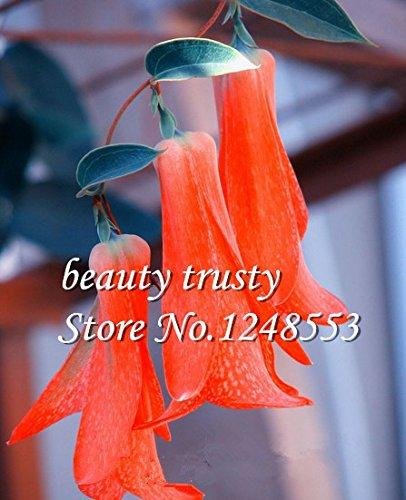New 50 Pcs / sac Rare chilienne Bellflower (Lapageria rosea) Graines, à feuilles persistantes, durables, mi-ombre, fleur plante de jardin bricolage,
