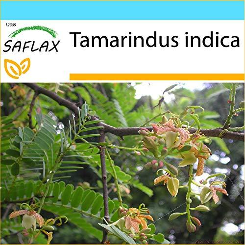 SAFLAX - Geschenk Set - Tamarinde/Indischer Dattelbaum - 4 Samen - Mit Geschenk- / Versandbox, Versandaufkleber, Geschenkkarte und Anzuchtsubstrat - Tamarindus indica