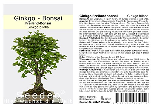Seedeo® Ginkgo Freilandbonsai (Ginkgo biloba) Bonsai 6 Samen