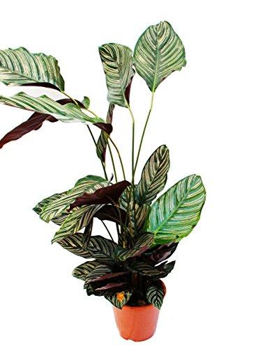 Exotenherz - Planta de sombra XXL con diseño de hojas – Calathea ornata – Maceta de 19 cm – 70 – 90 cm de altura aprox.