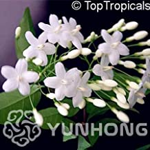 Fruit Seed - 10pcs Vanilla Water Plum Flower Bonsai for Planting in Pot Or Ground Easy to Grow As Cold Hardy (It is Seed not Plant) - by Abuldahi