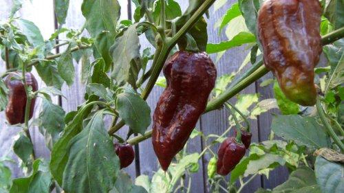 Chocolate Bhut Jolokia Pepper 10+ Seeds