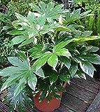 50 Seeds Japanese Aralia'fatsia Japonica' Decorative Garden Plants Bonsai Planting Home Garden Decoration