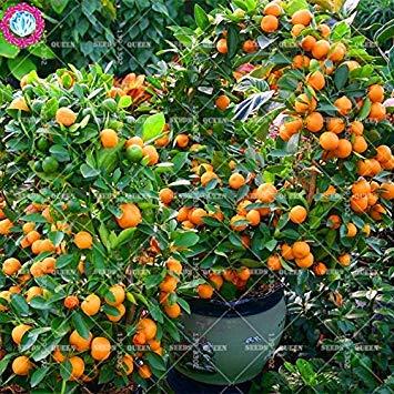 ASTONISH Erstaunen SEEDS: 11.11 Große Förderung 20pcs / lot Orange Samen orange Frucht Samen Mandarinenbaum vergossen in Garten & Heim aweet organisch