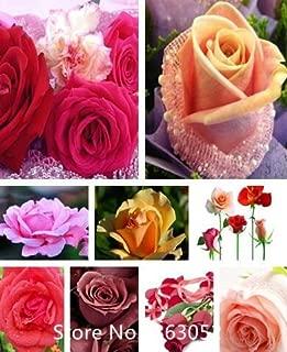 Garden Plant Promotion! (Wholesales) 100 seeds / pack, LOVE IN ROSE RARE ROSE BUSH RED WHITE TEA ROSE