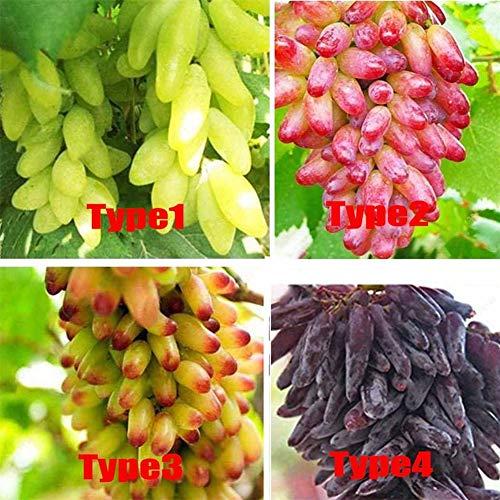 200 Stück gemischte Traubenkerne Köstliche frische Obstgarten-Baumpflanzensamen, grüne Rosine + Goldfinger + Rote Erde + Hexenfinger