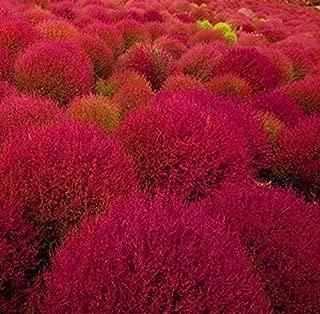 Best burning bush grass Reviews