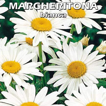 MARGHERITONA BIANCA - Margherita bianca - SEMI DA FIORE