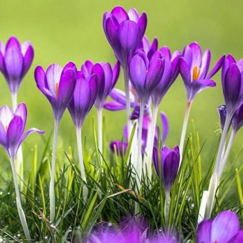 lamta1k 100 Piezas de azafrán Semillas de azafrán Alto índice de Supervivencia Home Garden Bonsai Flor Ornamental decoración - Semillas de azafrán azafrán