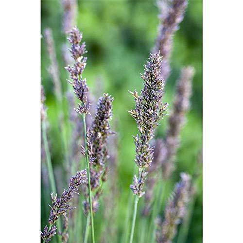 Molinia caerulea 'Moorhexe' - Kleines Garten-Pfeifengras 'Moorhexe' - 17cm Topf