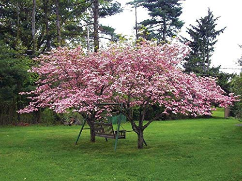 "Live Plant - Pink Flowering Dogwood Tree - 10-18"" Tall, Quart Pot - Cornus Florida VAR. rubra - Flowering Plant"