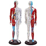 BIUYYY Acupuncture and Muscle Male Model - 60Cm - Pressure Point and Meridians,for Acupuncturists and Other Medical Professionals