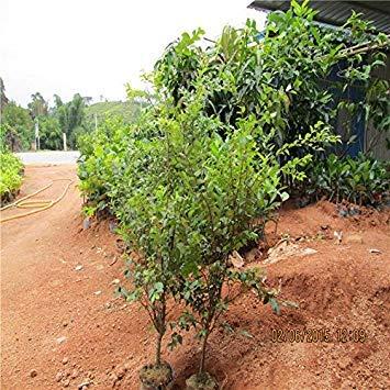 ASTONISH Erstaunen SEEDS: 30pcs Fruchtsamen Baumsamen Jabuticaba Früchte wächst auf seinem Stamm-Garten-Dekoration Pflanze