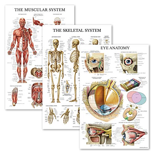 3 Pack - Muscle + Skeleton + Eye Anatomy Poster Set - Muscular and Skeletal System Anatomical Charts - Laminated - 18' x 27'