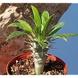 【多肉植物/種子】Pachypodium Lamerei var. Ramosum★パキポディウム ラモスム(ラモーサム) [並行輸入品]