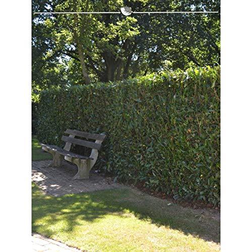 Kirschlorbeer Herbergii 80-100 cm. Angebot: 10-150 Lorbeerkirschen. Prunus laurocerasus Herbergii; die schmalwachsende & immergrüne Heckenpflanze. Kirschlorbeerhecke als Sichtschutz   Inkl Versand