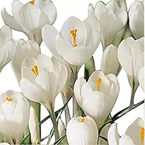 Cioler Seme di fiore- Semi di fresia,perenni Fiore Piante in vaso Semi rari Semi di bulbi da fiore ornamentali per il giardino di casa
