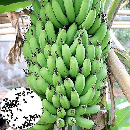 Benoon Semillas De Plantas De Banano, 100Pcs / Bolsa Semillas De Plantas De Banano Fuerte Supervivencia Alto Rendimiento Balcón Perenne Plántulas De Bonsái Para Granja Semillas de banano
