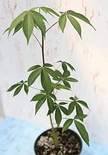 1 Plant Ceiba pentandra, Silk Floss Tree, Cotton Tree, kapok Tree, Bonsai rain Tree, Caudex Plant, Orchid Flower Tree