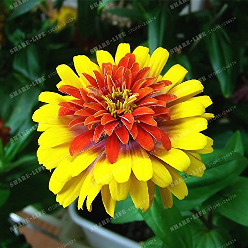 100PCS Zinnia Graines rares Variété chaleur Tolerant Jardin Fleur Plantes à fleurs en pot Charme chinois Fleurs Graines culture facile 4