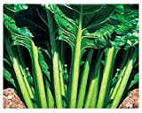 Semi Bietola Verde Liscia da Taglio - Beta Vulgaris - Semi agricoli - Bietole Liscie Verdi - 750 Sementi Circa