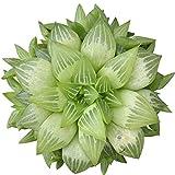 Live Window Haworthia Succulent | Star Window Plant | Indoor Succulents Gift Decoration (4 inch)