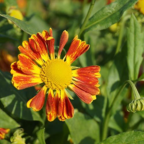 Blumixx Stauden Helenium Hybride 'Nella' - Sonnenbraut im 1,0 Liter Topf ziegelrot blühend