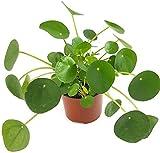 Pilea peperomioides - der Glückstaler für das Büro oder die Wohnung - der Chinesische Geldbaum für das helle Fensterbrett macht auch als UFOpflanze einen sehr dekorativen Eindruck