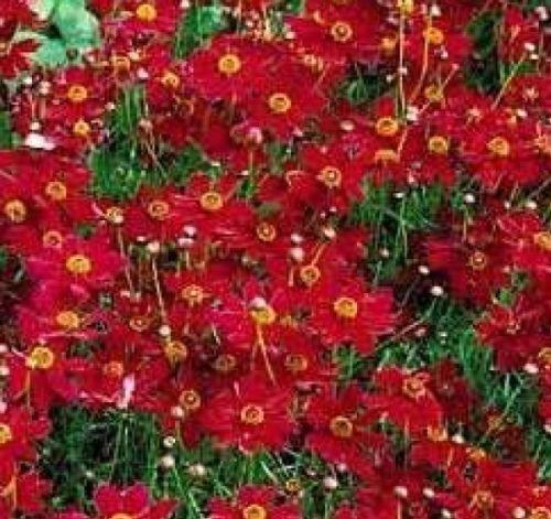PLAINS Tall Coreopsis FIORE ROSSO 100 semi freschi LIBERAMENTE USA