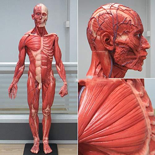 WIEUR 60CM Mensch Männlich Harz Schädel Anatomisches Modell des Skeletts Für Prothesenzähne Fleischmuskel Anatomie Oberflächlicher Muskel Künstlerischer Körper Kunstunterricht