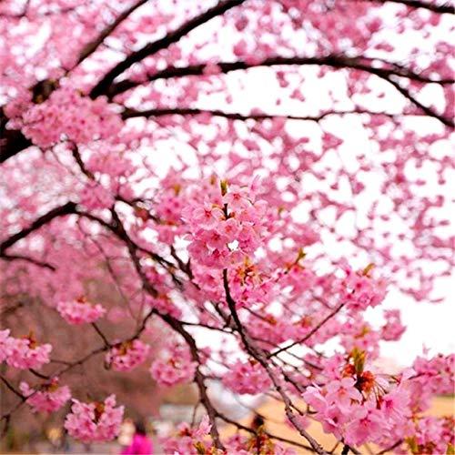 50 / Stück rosa Kirschblüten-Baum Klettern Sakura Pflanze perenial Blume Erbstück Bonsai DIY für Haus und Garten: 3